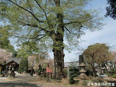 広瀬神社御神木の欅