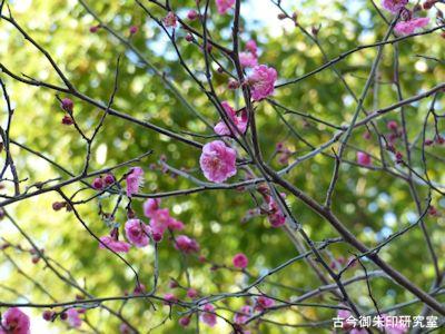 牛天神北野神社境内の梅
