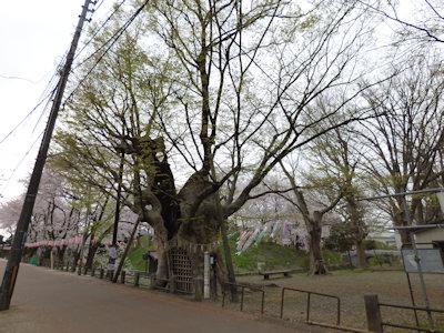 蔵王の大欅